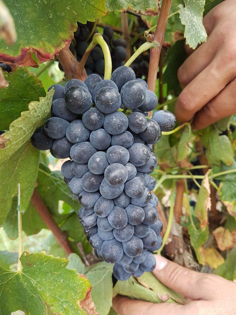 Grape cluster of L'Empordà