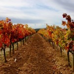Vineyards in the Penedes area in Autumn